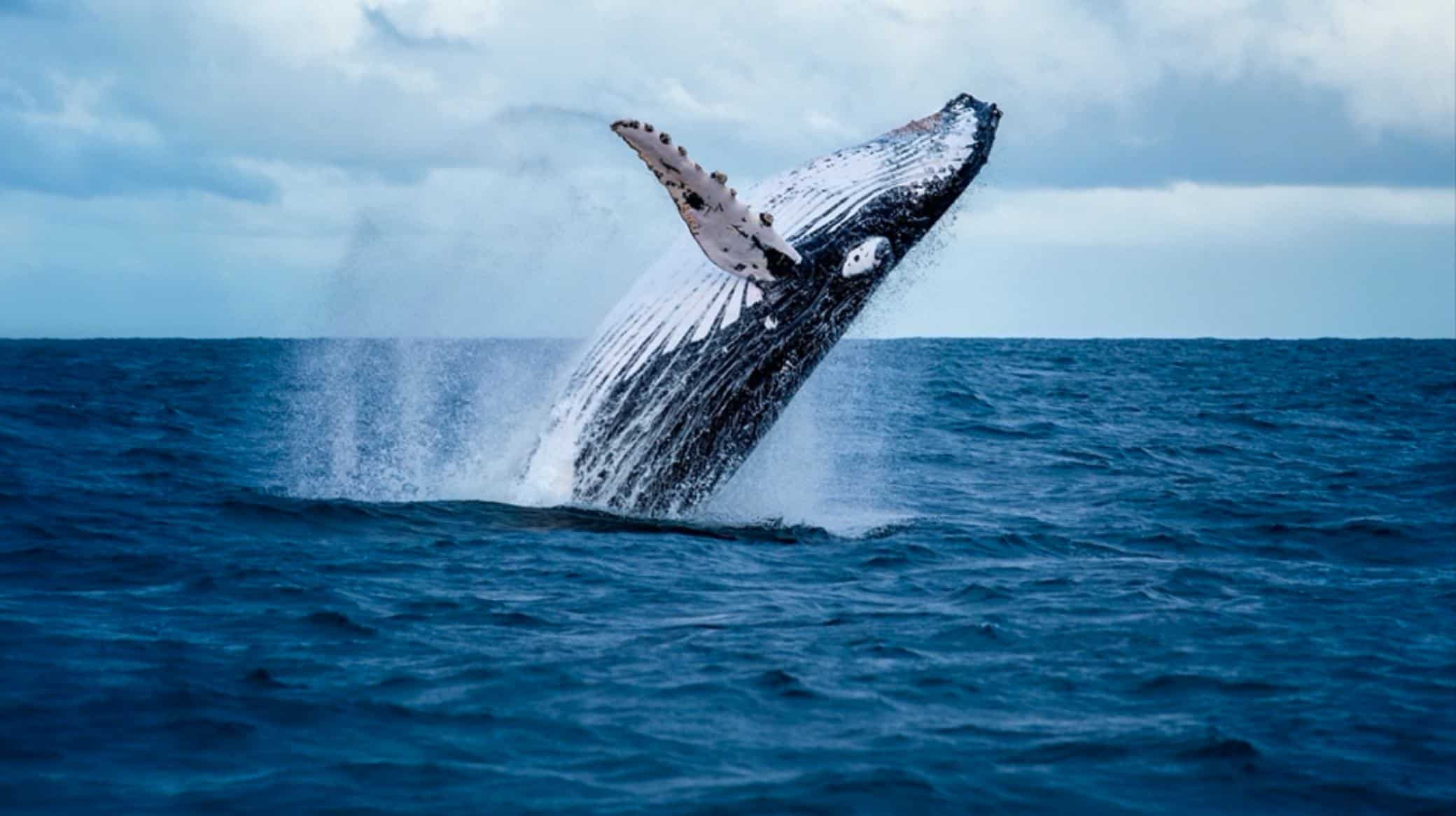 whale diving from water