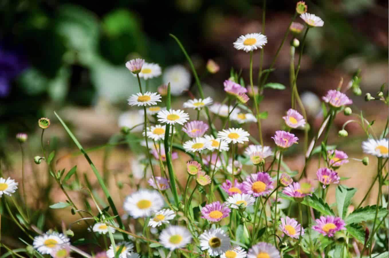 Pink and white daisies with long green stems swaying in a field.